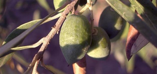 شرح عن شجرة الزيتون