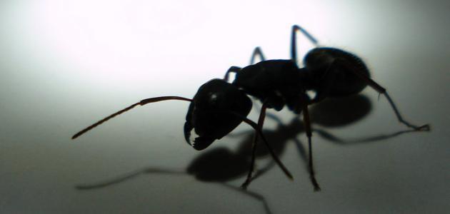 طرق للتخلص من النمل في المنزل