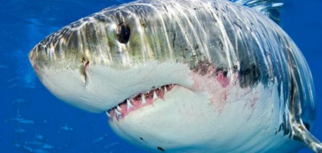 وجمجمة سمكة القرش غضروفية يرتبط بها الفك بواسطة عضلات بسيطة وجلد السمكة خشن  جدا، وأسنان القرش تتجدد باستمرار إذا كسرت ، وهي مرتبة في صفوف متوازنة واحدة  خلف ...