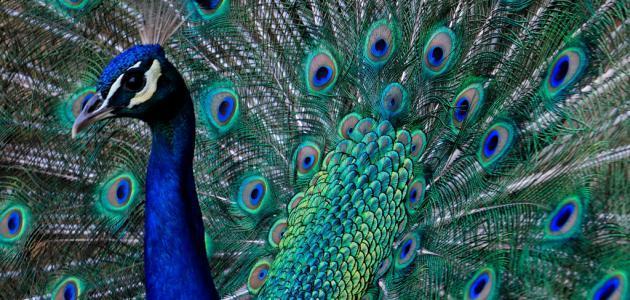الطاوووس ... _طائر_الطاووس