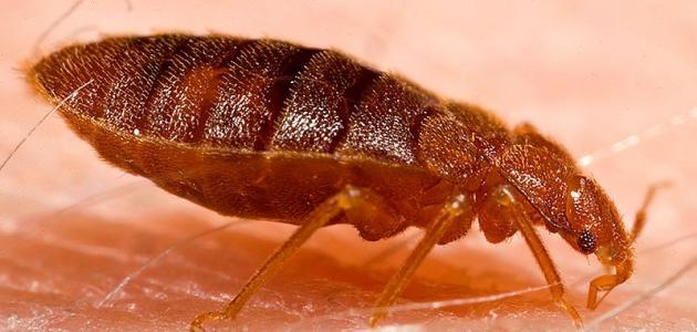 طرق الوقاية من حشرة البق