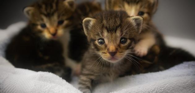 طريقة إطعام القطط حديثة الولادة