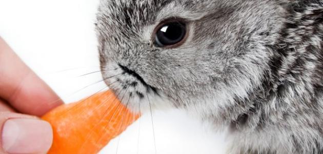 طرق تغذية الأرانب