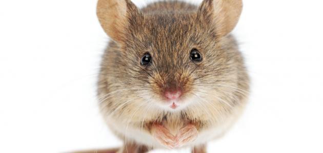 طرق طرد الفئران من البيت