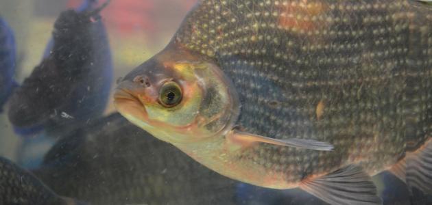 أشهر الأسماك في نهر النيل