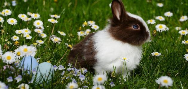 معلومات عن أنواع الأرانب