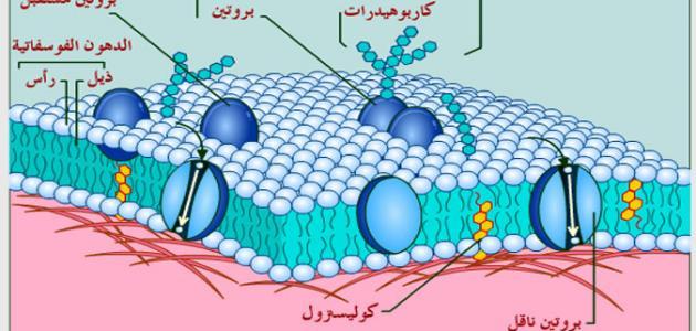 ما وظائف غشاء الخلية