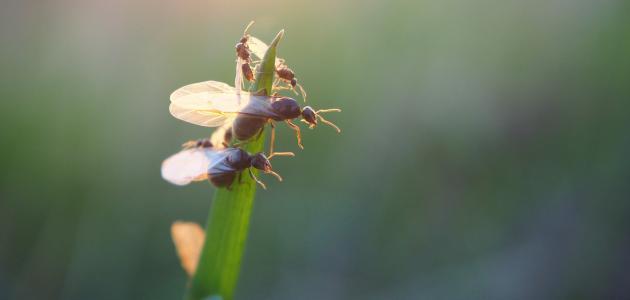 طريقة القضاء على النمل الطائر