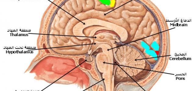 ما وظيفة قشرة المخ