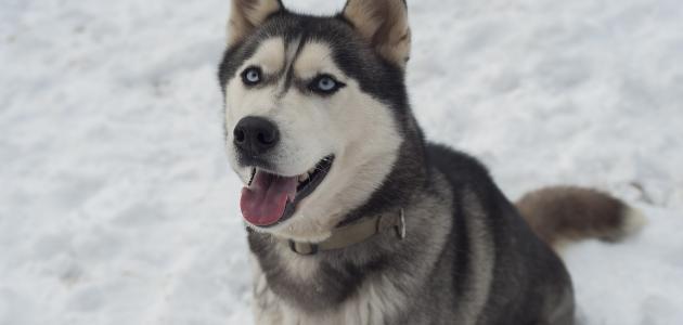 طريقة تربية كلاب الهاسكي