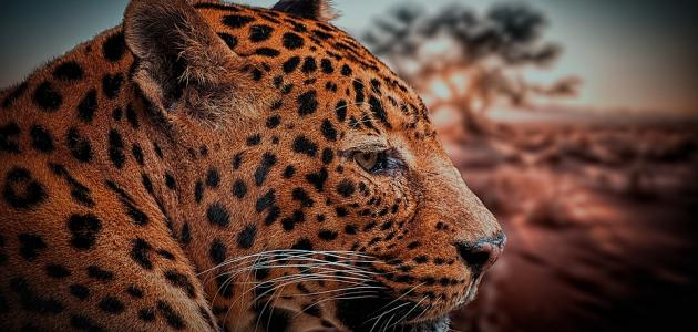 صفات حيوان النمر العربي