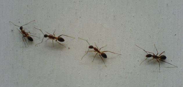 طريقة عمل مبيد للنمل