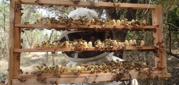 طريقة تربية ملكات النحل