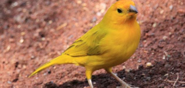 ماذا تأكل طيور الكناري موضوع