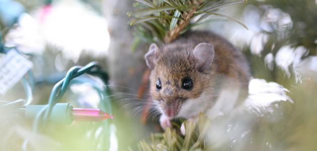 تفسير الفأر في المنام