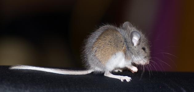 تفسير الفئران في الحلم