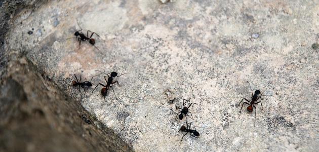 طريقة للقضاء على النمل الصغير