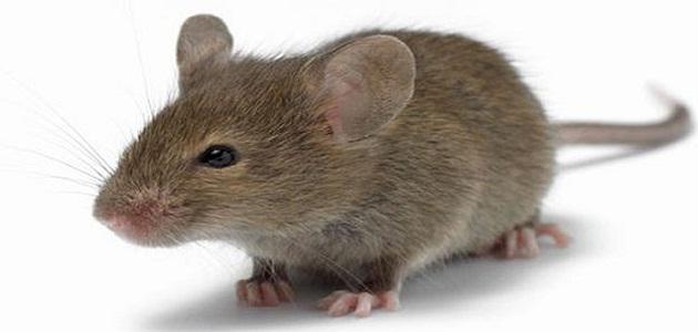 تفسير رؤية الفأر في المنام