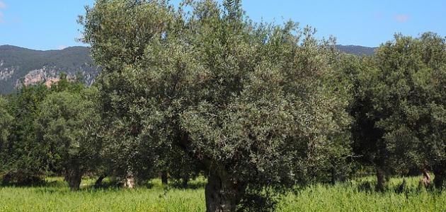 معلومات عن فوائد شجرة الزيتون