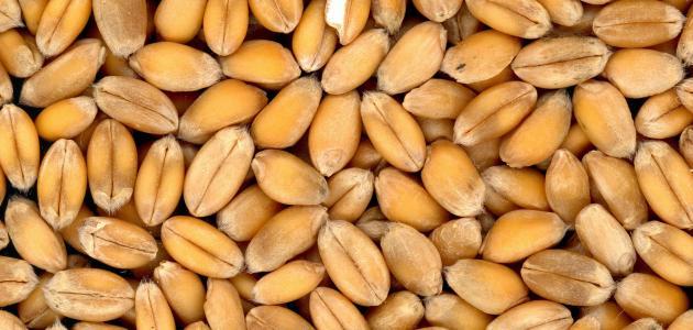 طريقة استعمال جنين القمح