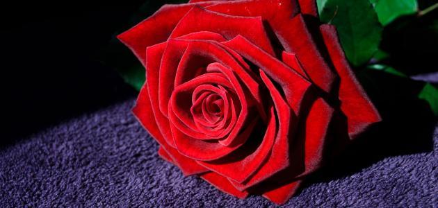 ماذا تعني الوردة الحمراء موضوع