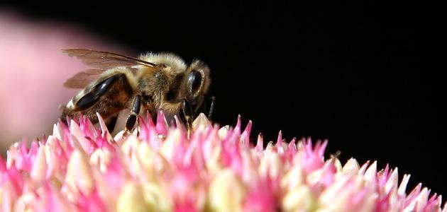 ما وظيفة ملكة النحل