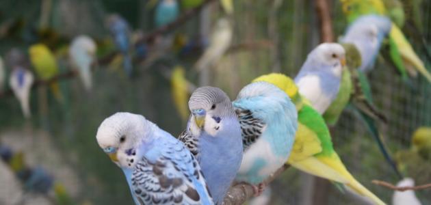 طريقة تربية طيور البادجي