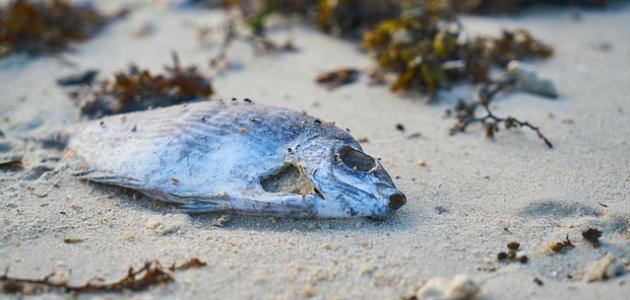 تفسير ظاهرة خروج أسماك ميتة من البحر