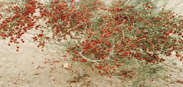 معلومات عن نبات الأرطة