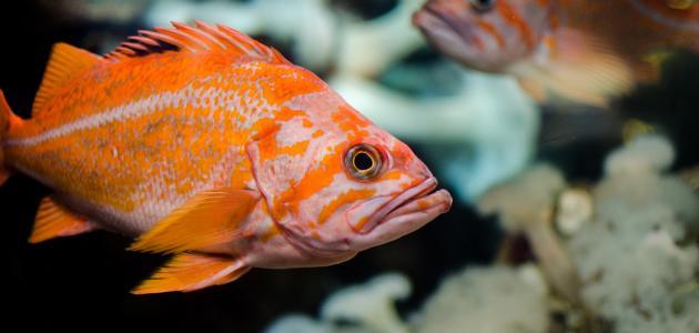 ماذا تتنفس الأسماك