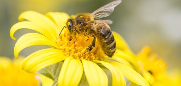 ماذا تعرف عن النحل