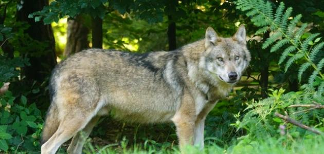 ما اسم صوت الذئب