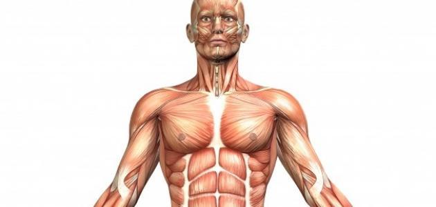 مم يتكون الجهاز العضلي
