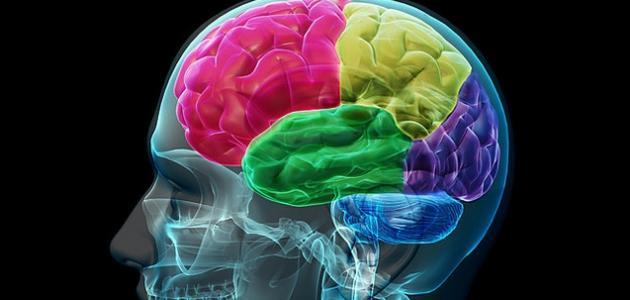 مم يتكون المخ