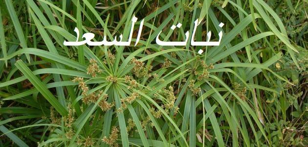 فوائد نبات السعد للبشرة