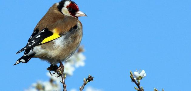 ما هو اسم صوت طائر الحسون