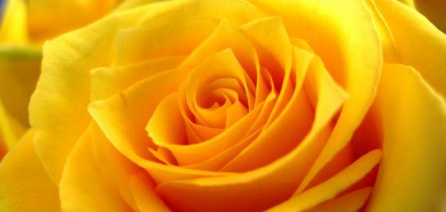 ماذا تعني الوردة الصفراء