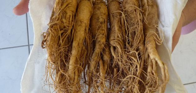 ما هو نبات الجنسنج