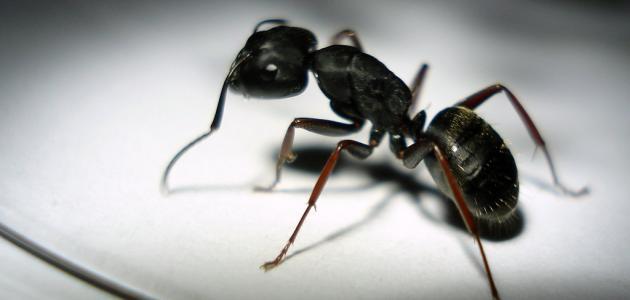 طريقة لمكافحة النمل