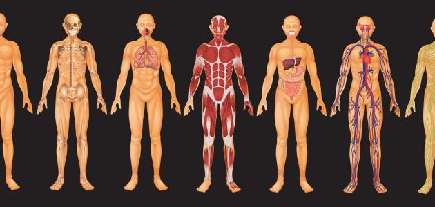 ما أجزاء جسم الإنسان _أجزاء_جسم_الإنسان