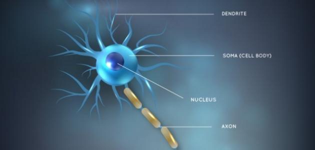 ما الذي يفصل مكونات النواة عن السيتوبلازم