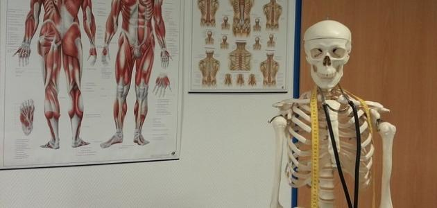 كم عدد عظام جسم الإنسان