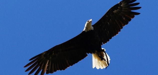ما هو طائر العقاب