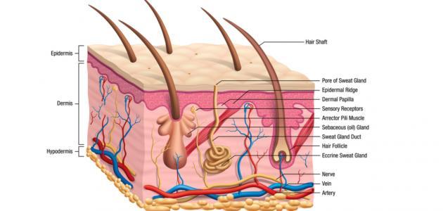 تركيب جلد الإنسان