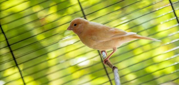 كيفية تربية عصافير الكناري