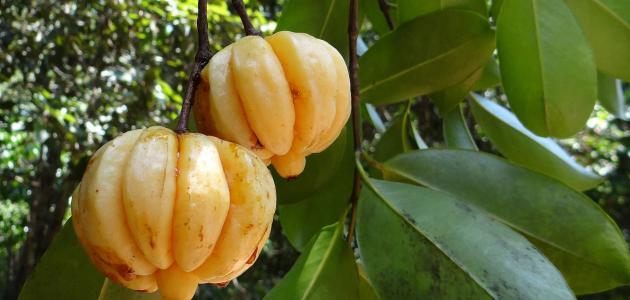 فوائد فاكهة الجارسينيا