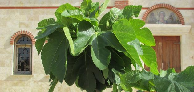 كيفية زراعة شجرة التين