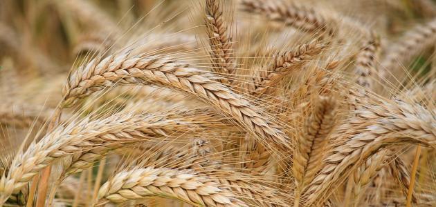 ما فوائد الشعير في الطب النبوي