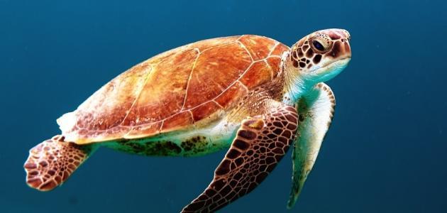 أنواع السلاحف الموجودة في البحار والمحيطات