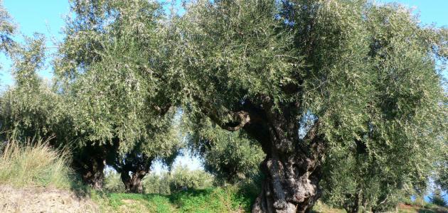 كيفية تطعيم شجرة الزيتون